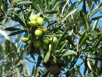 olive-224638_1920